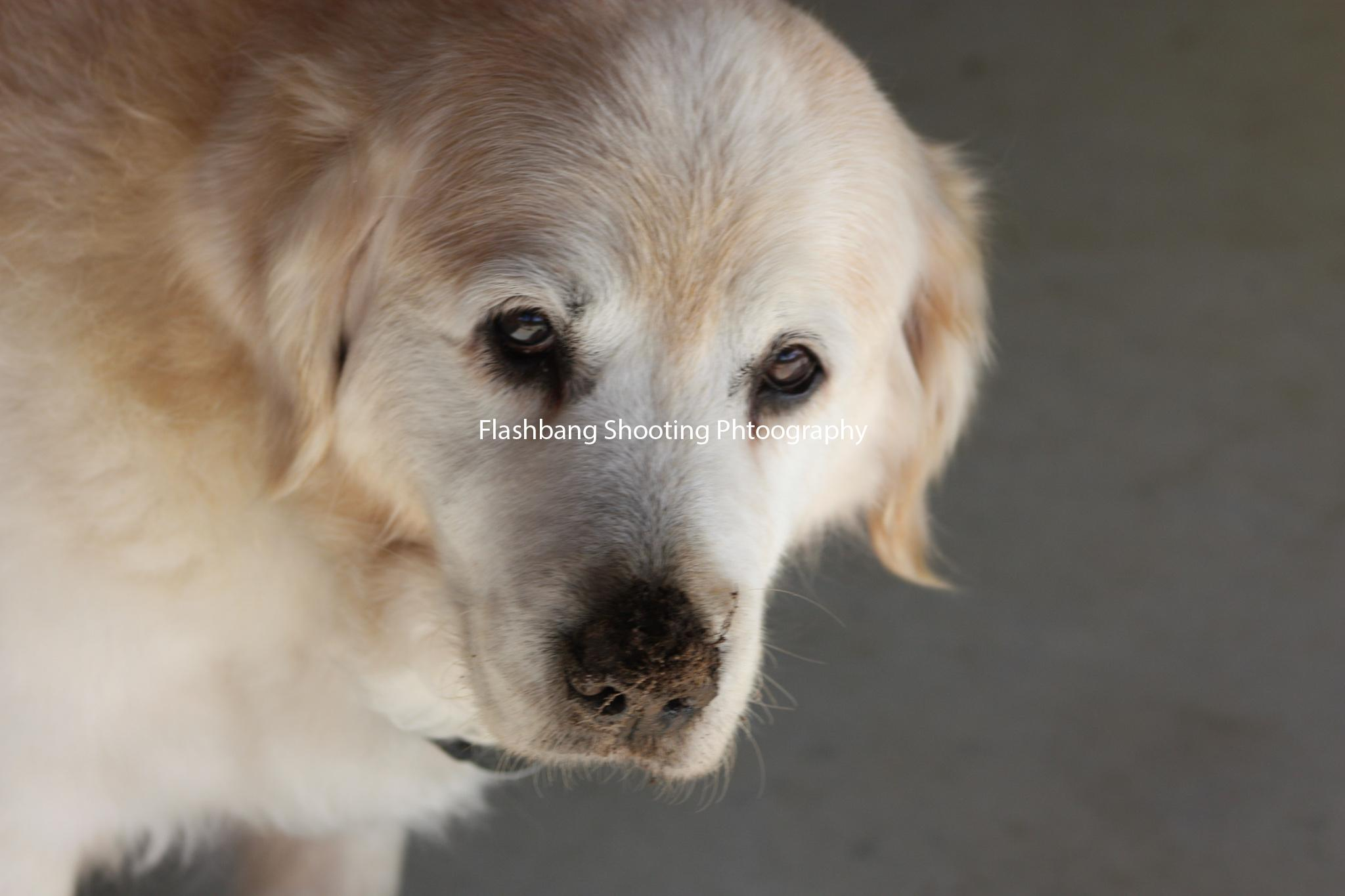 dog with a dirty nose
